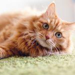 Come capire se il gatto sta male: i segnali da osservare