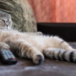 Gatto grasso? Ecco come farlo dimagrire: giochi, esercizi e dieta